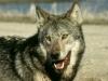 wolf_773_may98